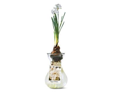 Paperwhite In Glass Vase Aldi Usa Specials Archive