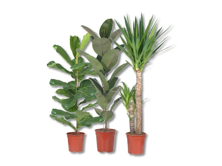 Grande vari t de plantes vertes d s 7 9 lidl suisse for Grandes plantes vertes