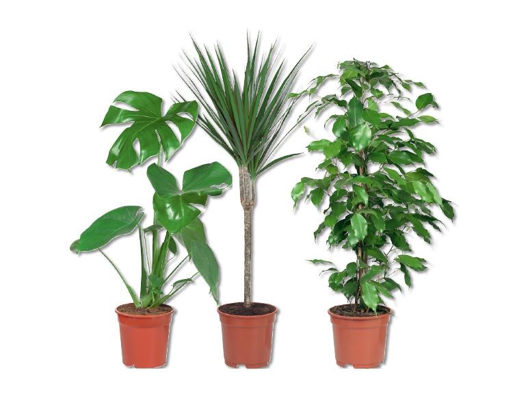 Mix di piante verdi lidl svizzera archivio offerte for Plante verte ikea