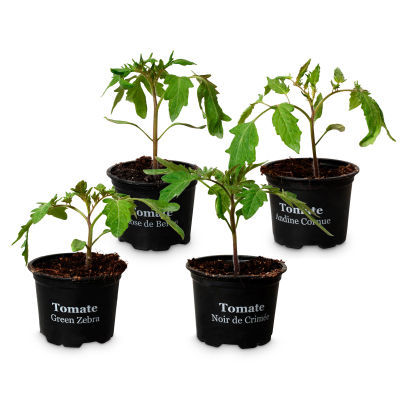 Plants de tomates, 4 pcs