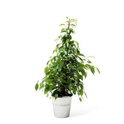 Plante solitaire aldi belgique archive des offres for Plantes belgique