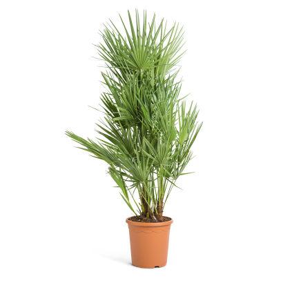 palmier vivace