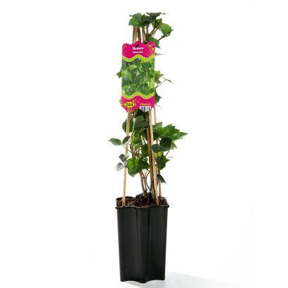 Plante grimpante ou rampante aldi luxembourg archive for Plante rampante
