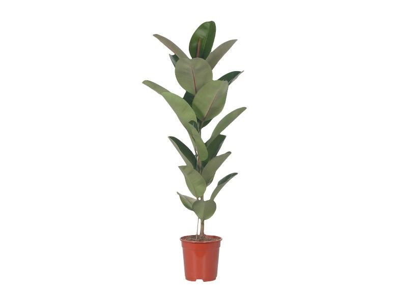 Large Green Houseplants