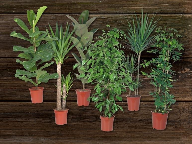 Grandes plantes vertes d s 12 9 lidl suisse for Grandes plantes vertes
