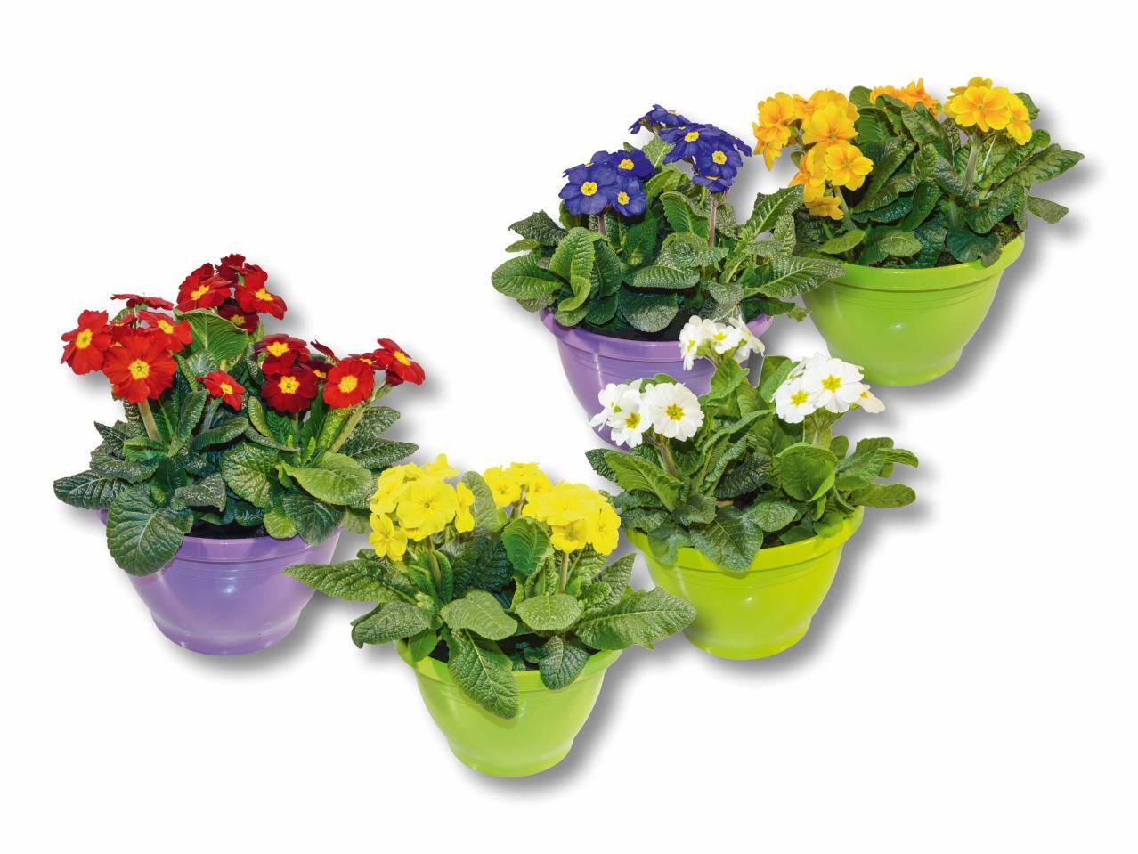 Primule da giardino in vaso lidl svizzera archivio for Offerte piante da giardino