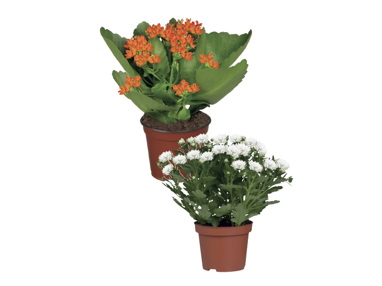 Flowering Plants - Lidl — Great Britain - Specials archive