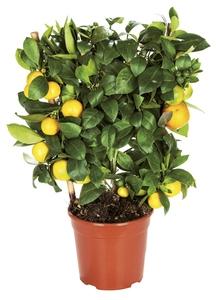 Plante méditerranéenne - Norma — France - Archive des offres promotionnelles